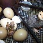 Cómo darse cuenta si un huevo está por eclosionar