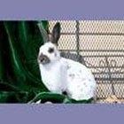 Cómo elegir razas de conejo para carne
