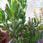 Cómo cultivar plantas suculentas en interior
