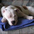 Cómo enseñar a los cachorros de Pit Bull a hacer sus necesidades