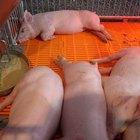 Cómo criar cerdos