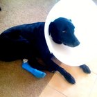 Cómo saber si un perro tiene tumores, quistes o cáncer