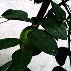 ¿Cómo diferenciar un limonero de un árbol de lima?