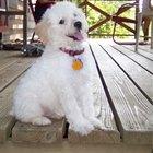 Cómo entrenar a un Poodle Toy