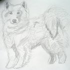 How to Draw a Samoyed