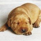 Como cuidar de filhotes de cachorro labrador recém-nascidos