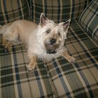 How to Use a Pumice Stone When Grooming a Terrier