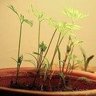 Cómo describir el proceso de crecimiento de la semilla de una planta