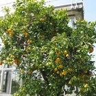 Cuándo plantar naranjos