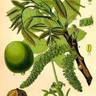 English Walnut Tree Diseases