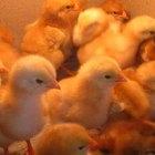 Cómo hacer una lámpara de calor para pollitos