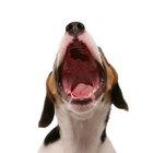 Cómo hacer que un beagle deje de aullar