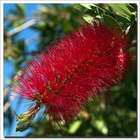 How to Propagate Bottlebrush Plants From Cuttings