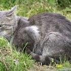 Cómo reducir la caída de pelo en un gato