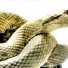 Remédio caseiro para repelir cobra