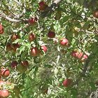 What Should You Spray Apple Trees With?