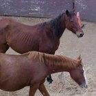 Como saber se um cavalo está com vermes