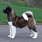 Cómo entrenar a tu perro akita