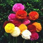 How to plant Ranunculus indoors