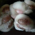 Cómo tratar una almohadilla de gato herida