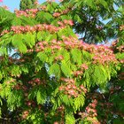 Mimosa Tree Facts