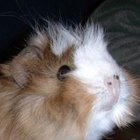 Como tratar um porquinho-da-índia constipado