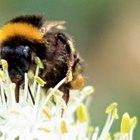Cómo deshacerse de los abejorros