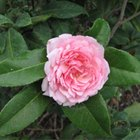 Camellia diseases
