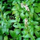 Cómo conservar las hojas de menta