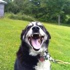 Maneras naturales para limpiar los dientes de los perros sin utilizar pasta dental