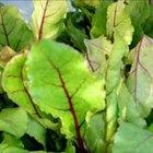 Cómo comer las hojas de la remolacha