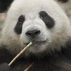Cómo podemos proteger a los Pandas Gigantes