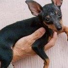 Cómo curar la caspa de los perros