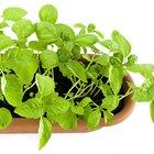 Cómo podar la planta de albahaca