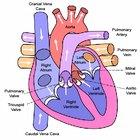How do semilunar valves work?