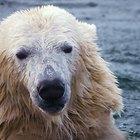 Cómo salvar a los osos polares