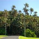 Cómo cuidar una palmera kentia