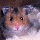 Como mudar os hábitos noturnos de um hamster