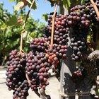 Cuando sembrar las vides de uva