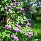 How to Plant Lilac Bushes