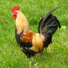 Cómo criar un buen gallo