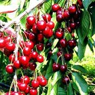 How to Grow Cherries in a Greenhouse