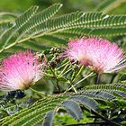 What Does a Mimosa Tree Look Like?