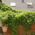 How to prune Russian vines