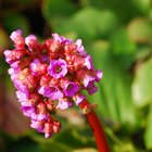 Propagation of bergenia plants