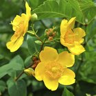 How to prune hypericum