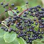 How to propagate elderberry