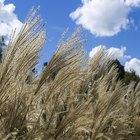 Allergic skin reaction to Pampas Grass