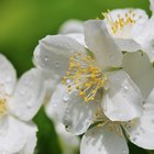 Problems with flowering mock orange (Philadelphus lewisii)