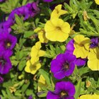 How to start petunias from cuttings